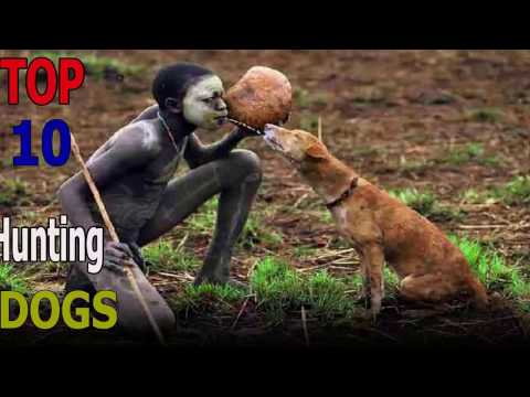 Top 10 hunting dog breeds | Top 10 animals