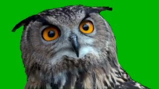 OWL GREEN SCREEN-funny video