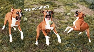 Hilarious Boxer Dog Can't Catch Ball
