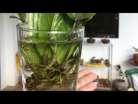 ZZ Plant Leaf Cutting by Water Propagation
