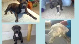 Stolen Blue Staffordshire Bull Terriers