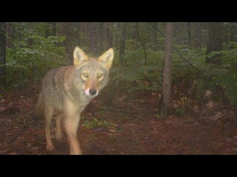 Largest-Ever Camera-Trap Research of Michigan Wildlife