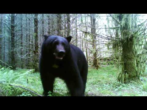 Trail Camera On Vancouver Island (with Mystery Animal At The End)