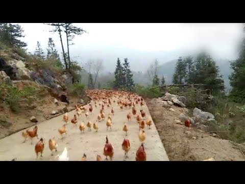 Farmer whistles and his chickens fly down for the feast