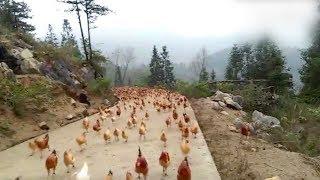 「ご飯だぞ~!」の笛の音に、山から飛んでくるニワトリたち