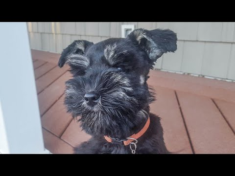 EXCEPTIONAL Miniature Schnauzer Puppy in Training - Izzy at 6 weeks Training!
