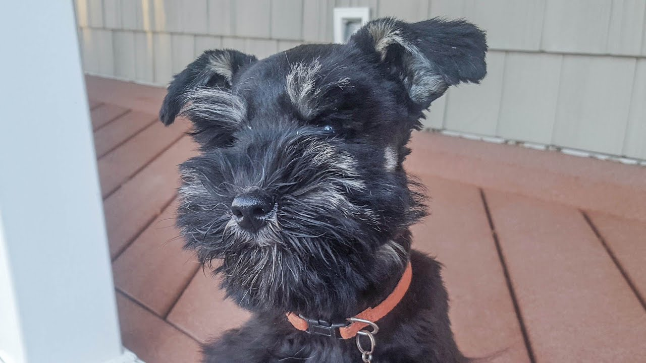 Miniature Schnauzer Puppy In Training