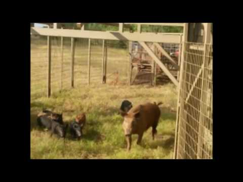 how to build a hog corral