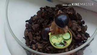 Как взять в руки и чем кормить улитку ахатину
