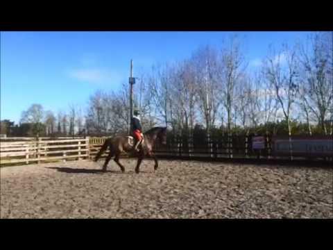 Irish Sports Horse for sale