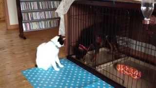 猫パンチ!ケージの外でしかこんなこと出来ません!ロットの仔犬ハルが...