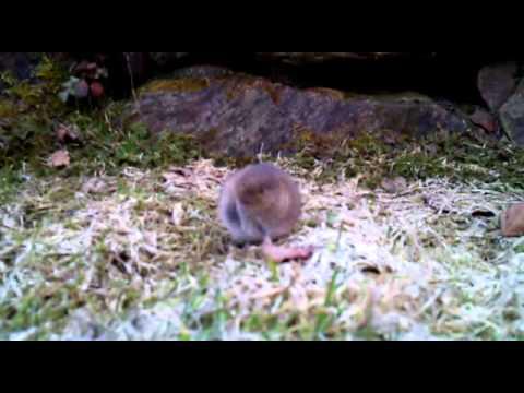 Maus auf der Wiese im Garten frisst Gras