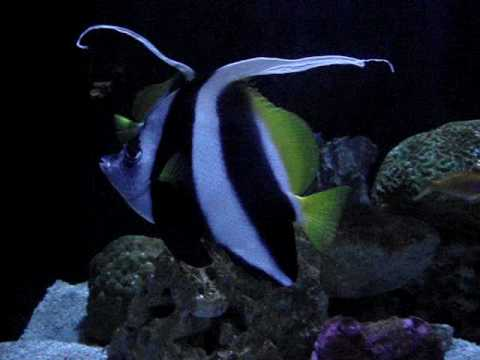 Houston Zoo 2010 - Heniochus (Black And White Butterfly Fish) Swimming