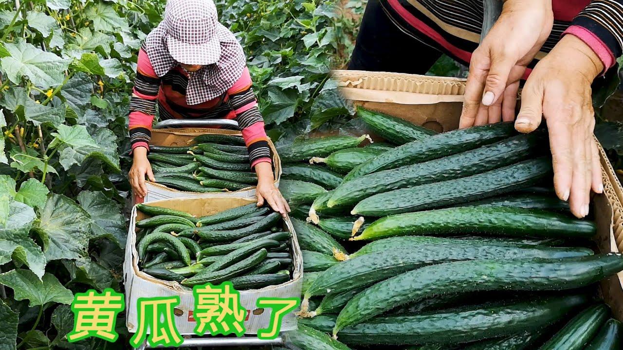 【胖嫂show】胖嫂摘黄瓜,直溜的卖1块而弯的卖8毛,想卖好菜?定价也是门学问
