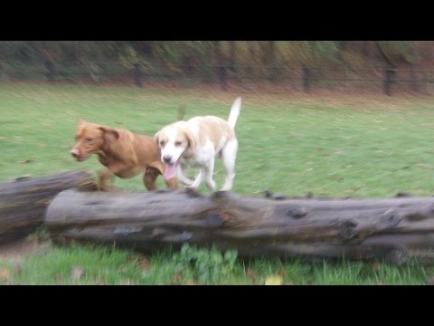 Beagle Bailey & Hungarian Vizsla Archie on a mission at A & B Dogs Boarding & Training Kennels.