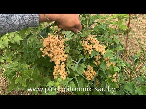 Смородина белая сорт ВИКСНЕ БЕЛАЯ. Ранний, сладкий и урожайный сорт смородины.