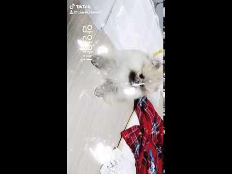 강아지 포메라니안 앵지의 틱톡영상 찍어보기🤣🤣 puppy, Funny dog