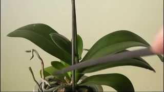 видео Орхидея погибает. Гниль поразила всю шейку!