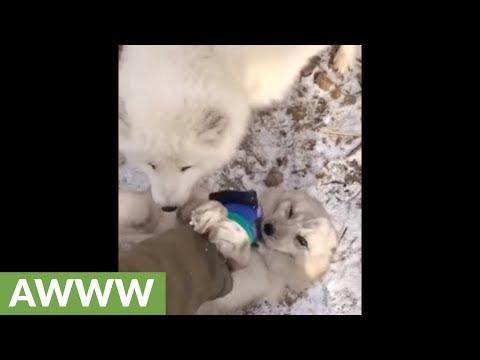 Arctic fox adorably enjoys belly rubs