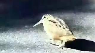 Nagpuriya song funny dance animal Chidiya