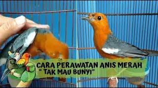 Cara Merawat Burung Anis Merah Yang \x27TAK MAU BUNYI\x27