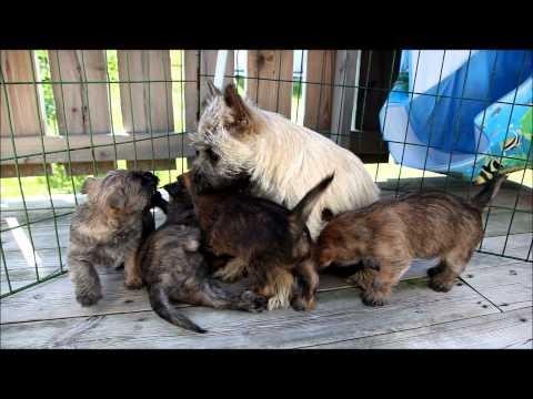 Gracies Cairn Terrier puppies/valper