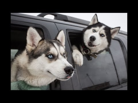 Funny And Cute Husky Compilation - Cute Husky Video Part 2 | WORLD PET TV