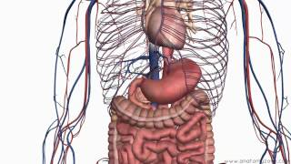 Introduction to the Digestive System Part 2 - Oesophagus and Stomach - 3D Anatomy Tutorial