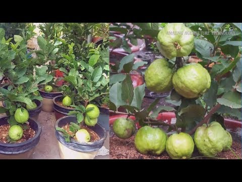How to Plant & Grow Guava Tree Bonsai in Pot Make You Millionaire -  Complete Growing Guide