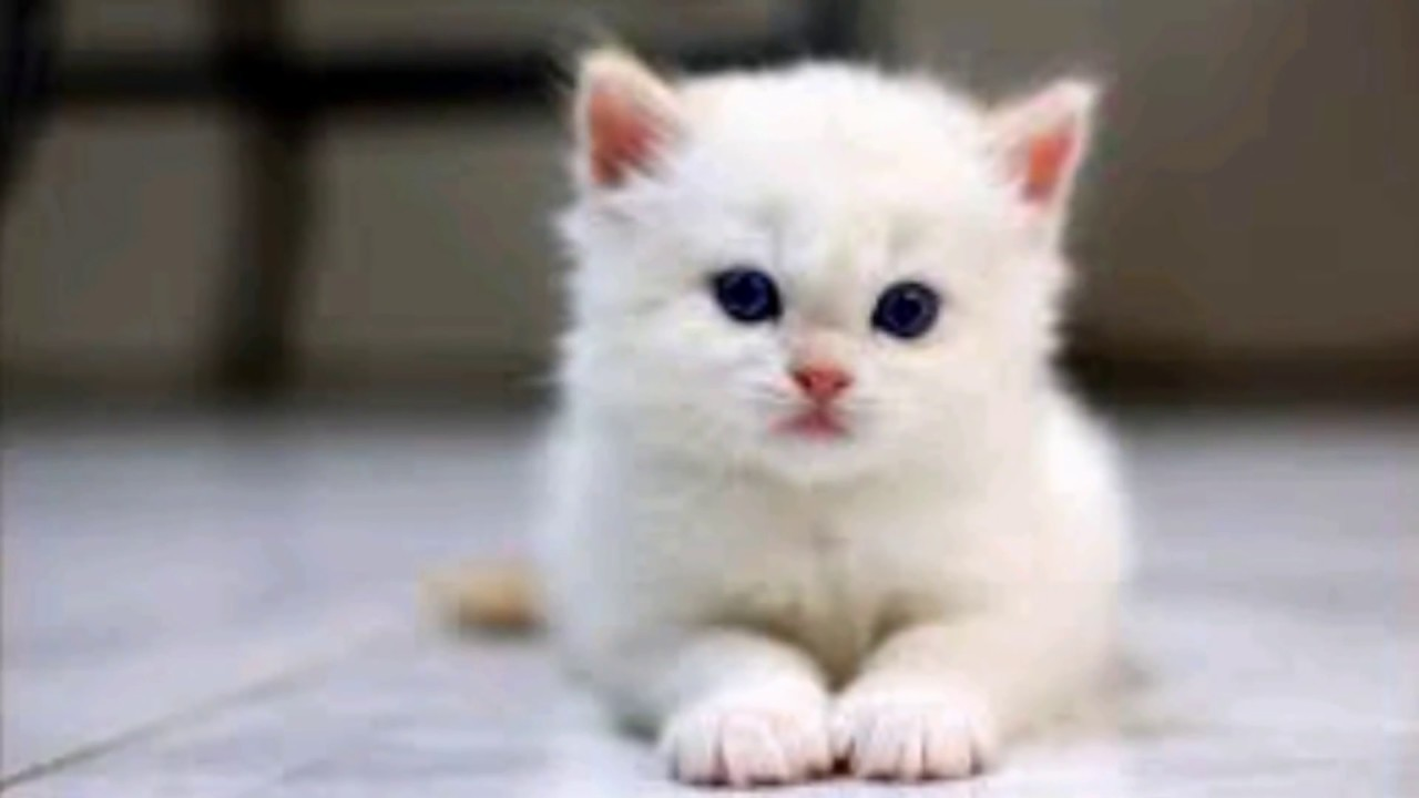 Cute White Beuty Cats Pictures Cats Pic Youtube