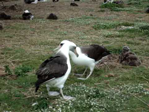 Laysan Albatross Dancing on Midway Atoll