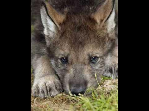 Слушать онлайн (Вова Высоцкий) - (Одинокий волк) оригинал