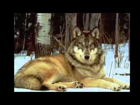 Красивый ролик про волков