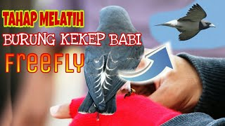 tahap melatih burung kekep babi fre fly
