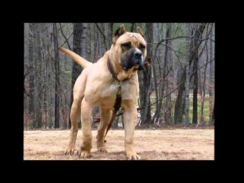 TOP 10 STRONGEST DOG BREEDS (2016)