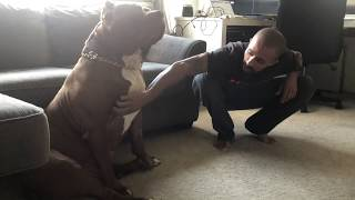 i-tickled-my-giant-pitbull-hulk-his-reaction-was-priceless