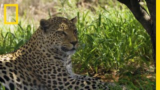 Protecting Leopards From Human & Wildlife Conflicts | National Geographic