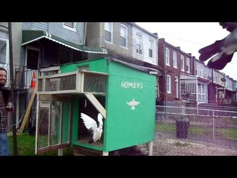Baltimore Homing Pigeons