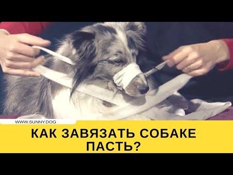 Как завязать собаке морду?
