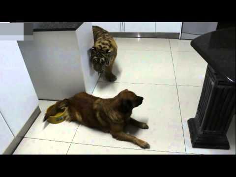 yavru kaplan ve köpek