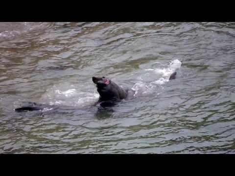 Elephant Seals Battling