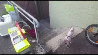 Молодой канадский сфинкс первый раз гуляет на поводке со шлейкой