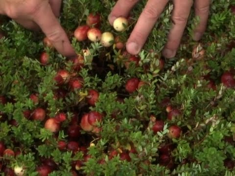 Rising Costs, Drought Threaten Cranberry Growers