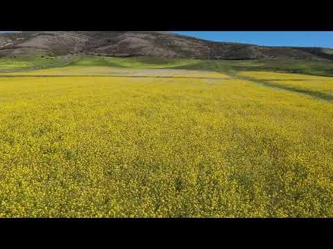 Mustard flower field in Half Moon Bay