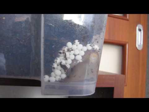 Lissachatina Fulica laying eggs/ Lissachatina Fulica składa jaja.