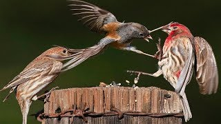 Bird fight Bird - The Fight Is Fierce And Attractive