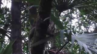 Squirrel monkey in Amazon rainforest