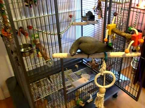 African Grey Parrot 12 Weeks flapping / exploring cage / step up