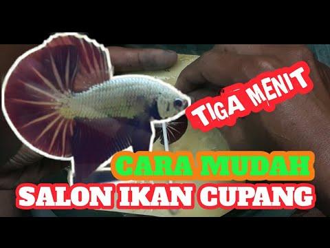 Tips Tiga Menit Cara Salon Ikan Cupang Youtube