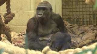 FIRST LOOK: Baby Gorilla Born at ZSL London Zoo